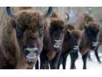WWF благодарит Ingstad (ACEX Литва) за зубров