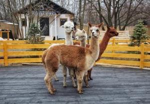 Семейный парк Сказка приглашает на открытие локации «Альпака Парк»