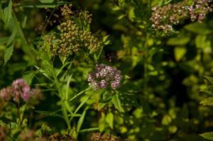 Исследование рынка декоративных ландшафтных растений проведено по заказу компании «Вершки & Корешки»