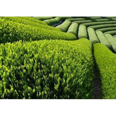 Африканские чайные плантации открыты для туристов