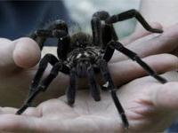 Фестиваль тарантулов