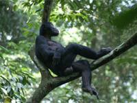 Открыты свахи у обезьян бонобо