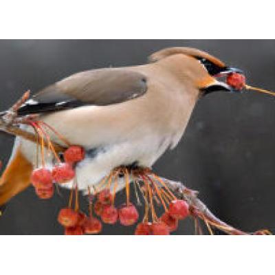 1 и 2 октября 2011 года пройдет Всемирные дни наблюдения птиц