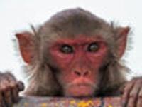 Курорт Шимла оккупировали обезьяны