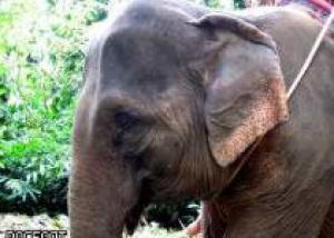 В Таиланде влюбленным предлагают пожениться на спине слона
