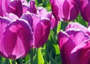 В мае в Канаде пройдет фестиваль тюльпанов