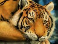 Верховный суд Индии защищает тигров от туристов