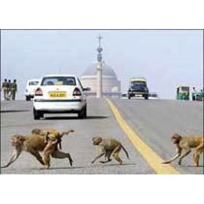Водителей поделят на слонов и макак