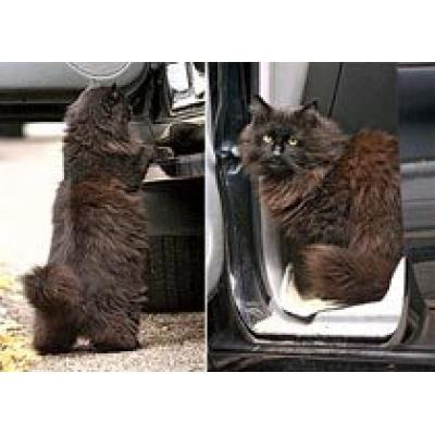 Кошачьи прогулки заканчиваются поездкой на Maserati