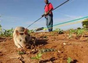 Армия США заинтересовалась танзанийскими крысами-саперами