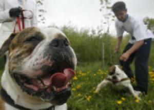Собаки опасных пород станут травматическим оружием