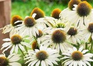 Эхинацея: здоровье и красота из сада
