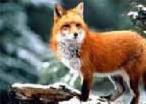 Одно из сел Луганской области подверглось нашествию бешеных лисиц