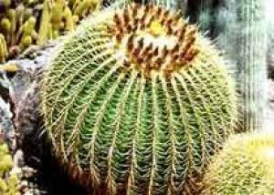 Кактус – универсальное лекарственное растение