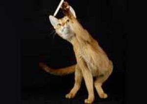 Расшифрована большая часть генома домашней кошки