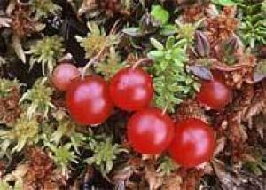 Полезная ягода клюква