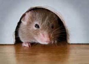 В США вывели устойчивых к раку мышей