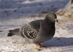 Виновниками вспышки птичьего гриппа в Ростовской области стали грачи и голуби