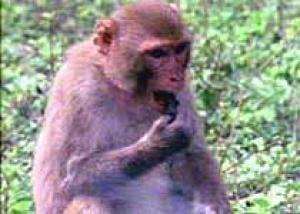 Создана обезьянья модель болезни Гентингтона