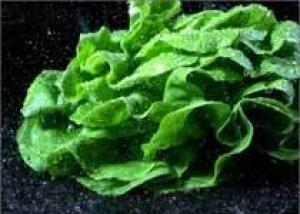 Листья салата – `еда кинозвезд`
