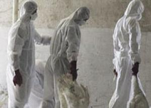Птичий грипп признан главной угрозой безопасности Великобритании