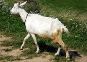 Козий сыр заразил австрийцев клещевым энцефалитом