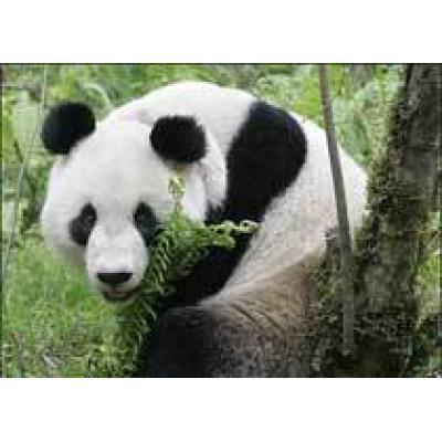Панда-людоед напала на мальчика