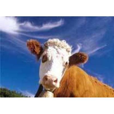 `Коровы-убийцы` напали на британского полицейского