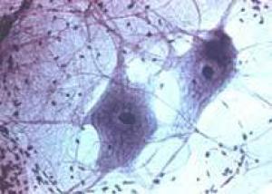 Стволовые клетки не нужны для обновления тканей?