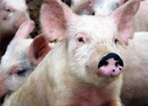 Легкие свиней сделали пригодными для пересадки человеку
