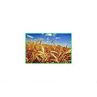 На страхование сельскохозяйственных посевов в 2013 году Правительство края выделит 2,5 млн рублей