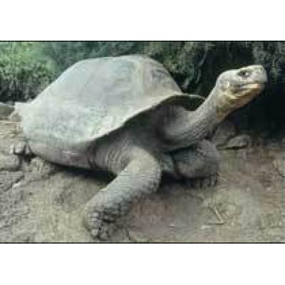 Извержение вулкана угрожает популяции гигантских галапагосских черепах