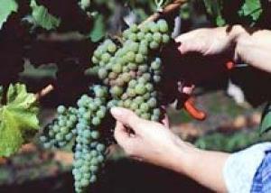 В Краснодарском крае увеличили сбор винограда