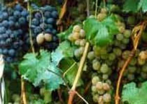 Трагедия виноградарей Кахетии