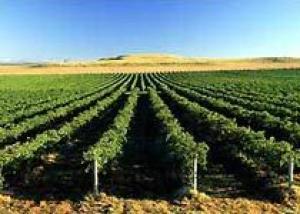 Мечтаете сами выращивать виноград?
