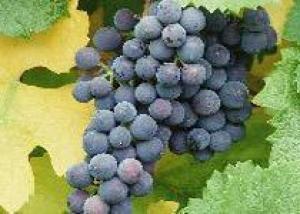 Австралийские производители винограда терпят убытки