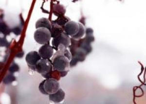 Ледяное вино канадских виноделов