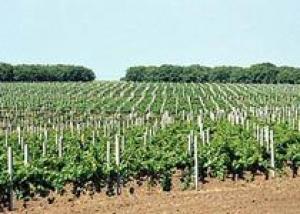 Шабо изучает виноградники