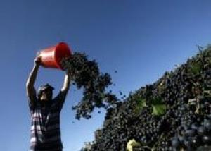 Столовое виноградарство в Молдове: новые вызовы