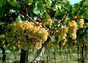 Молдова: По прогнозам специалистов в этом году валовой сбор винограда составит около 600 тысяч тонн