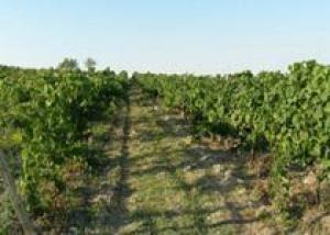 Болгарские виноградники поразила неизвестная болезнь: виноградари бьют тревогу