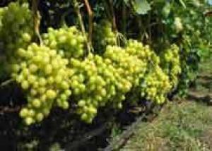 Калифорния: теплая погода обещает ранний урожай винограда