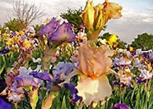 В Ялте началось массовое цветение ирисов