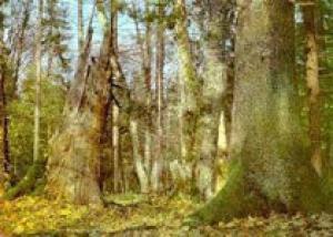 Беловежская пуща отметит 600 лет заповедника