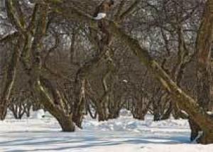 Зимнее прививание садовых деревьев