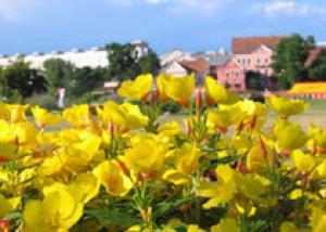 В следующем году работники «Минскзеленстроя» должны высадить в столице 3 млн. цветов