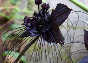Существование черных цветов