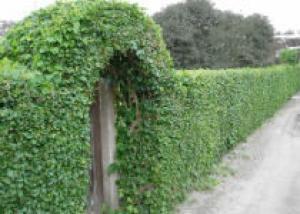 Уход за живыми изгородями