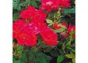 Способы зимнего укрытия садовых роз