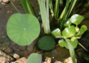 Как вырастить лотос в пруду